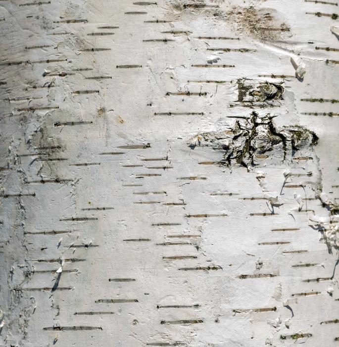 Extract African birch bark